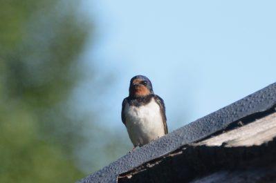 Fledgling swallow